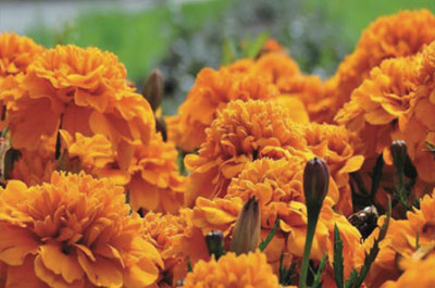 Plant Of The Month – Marigold